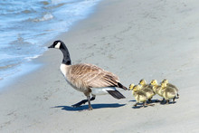Mother Canada Goose Leading Go...