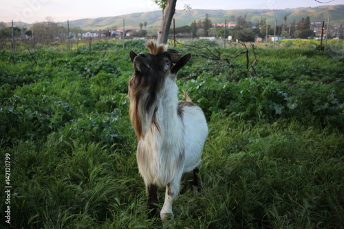 Photo  Billy goat in the grass at evening