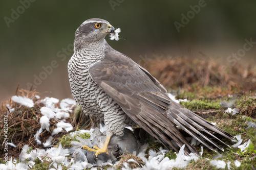 Photo  Northern Goshawk with prey