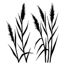 Silhouette Of The Reed On A Wh...