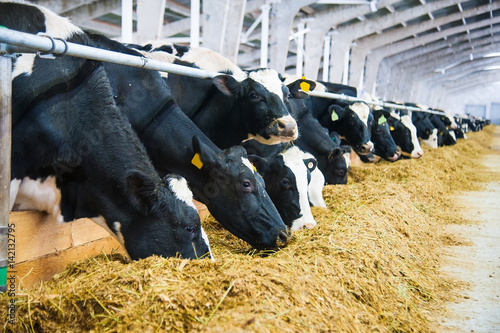 Photo Stands Cow Cows in a farm. Dairy cows