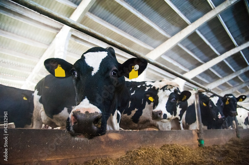 Tuinposter Koe Cows in a farm. Dairy cows