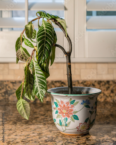 Valokuva  Drooping houseplant in pottery vase