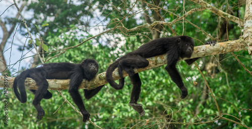 Foto op Plexiglas Aap monkeys sitting on a tree in the rainforest by Tikal - Guatemala
