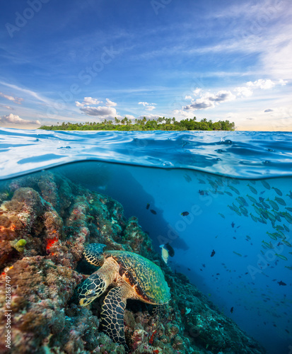 Hawksbill Sea Turtle exploring coral reef under water surface