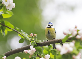 Obraz na Szklea little bird sits in the early spring among the branches of a blossoming Apple trees