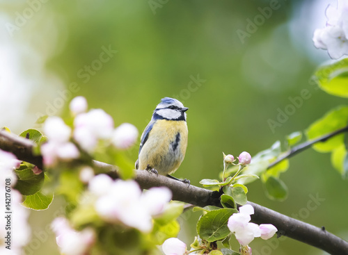a little bird sits in the early spring among the branches of a blossoming Apple Canvas Print