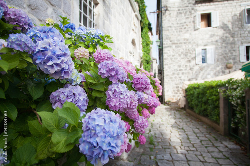 Spoed Foto op Canvas Hydrangea Pink, blue hydrangea flowers are blooming in spring and summer at sunset in town garden.