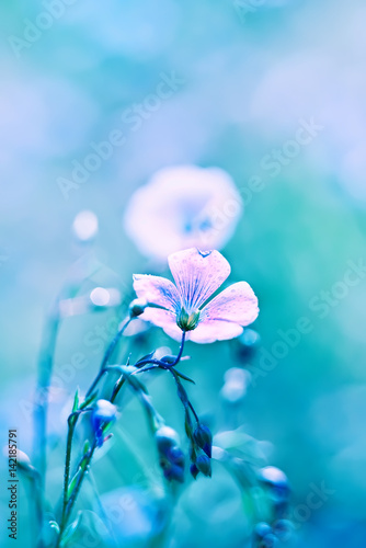 Staande foto Bloemen delicate flax flower. Very soft focus. Soft delicate blue shades.