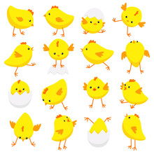 Eastern Chicks In Various Poses Isolated On White Background