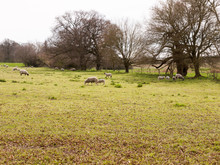 Sheep Grazing In A Field In Sp...