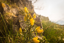 Ulex Europaeus Flowering In Spring