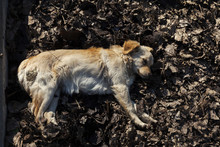 Stray Dog ​​resting In The...