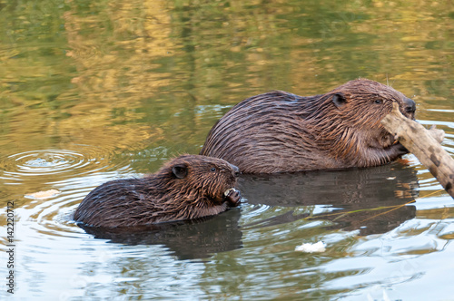 Two beavers sit in water in profile behind snag. Moscow, Russia.