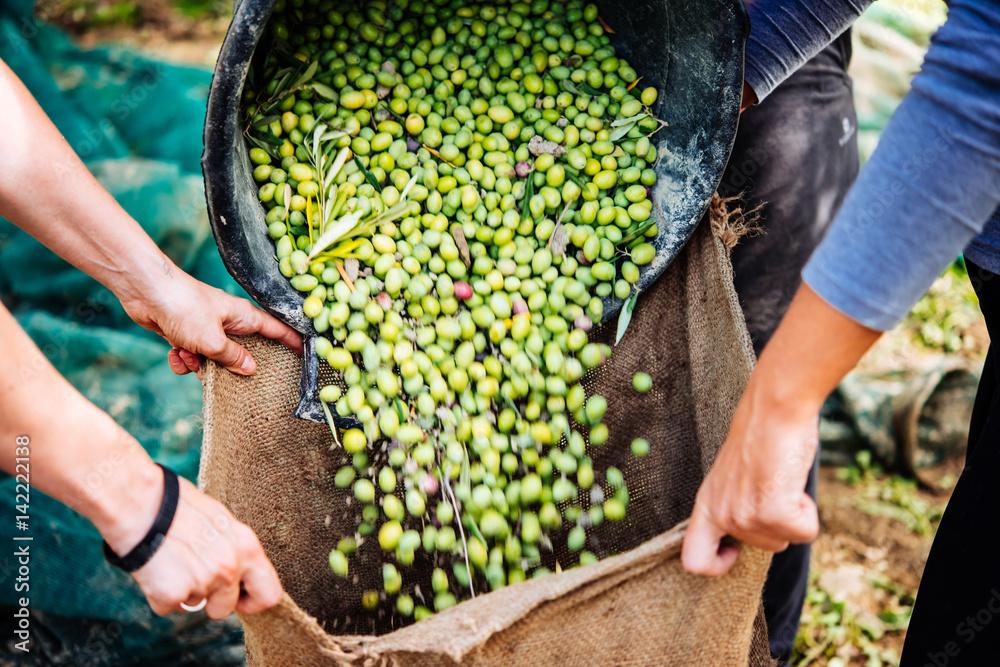 Fototapety, obrazy: Olives harvest
