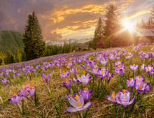 Magnificent Sunset Over Mountain Meadow With Beautiful Blooming Purple Crocuses
