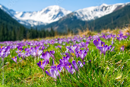 Photo sur Aluminium Crocus Beautiful meadow with blooming purple crocuses on snowcaped mountains background