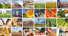 Agriculture - Food Production, Corn, Irrigation, Lettuce, Sunflower, Silo, Harvest Wheat, Tractor, Apple, Milking, Dairy Farm, Apricot, Grape And Wine, Tomato, Pig, Piglet, Cow In Collage