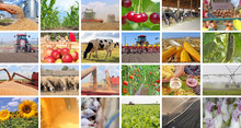 Agriculture - Food Production, Corn, Soybean, Irrigation, Cherry, Sunflower, Silo, Harvest Wheat, Tractor Working, Apple, Onion, Cucumber, Tomato, Grape And Wine, Pig, Sheep, Turkey, Cow In Collage