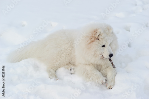 Foto op Plexiglas Arctica Beautiful white Samoyed dog breed sitting in the snow and looking away