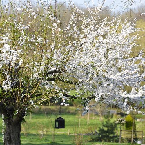 Prunier en fleurs, printemps, jardin