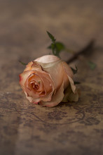 Single Pink Rose, Close Up