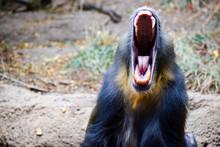 Screaming Mandrill 3 - Male Monkey Open Mouth Intimidating Teeth Roar