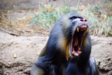 Screaming Mandrill 2 - Male Mo...