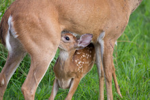 Deer Fawns With Spots Cute Baby Nursing And Buck Deer In Velvet With 6 Points Or 3x3 Including One Doe Bedded Down