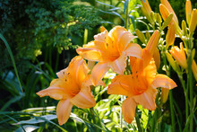 Orange Flower Of Hemerocallis ...