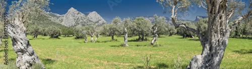 Stampa su Tela olive grove on the island of Mallorca