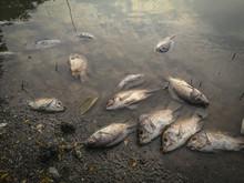 Dead Fish On The River. Dark W...