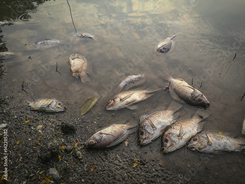 Valokuva  Dead fish on the river. dark water water pollution