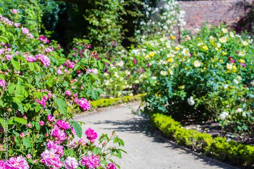 Cadres-photo bureau Jardin Beautiful rose garden in Summer, UK.