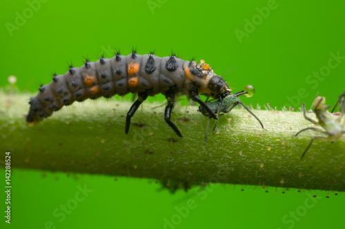 Seven-spot ladybug, Coccinella septempunctata larva feeding on aphid