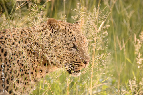 Hidden Leopard Stalking Through The Long Grass Buy This Stock