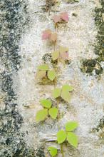 Poison Ivy Vine, Toxicodendron...