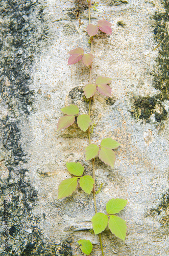Fotografie, Obraz  Poison ivy vine, toxicodendron radicans, growing up the side of a tree