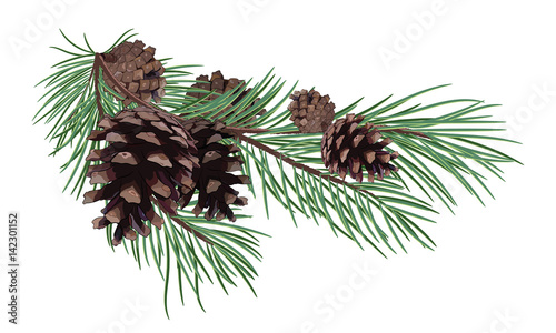 Valokuva Pine branch with Cones