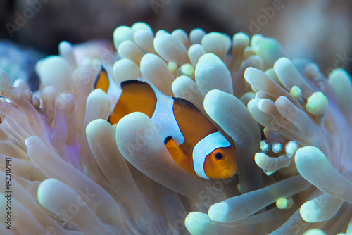 Pinturas sobre lienzo  clown fish hosting on anemone
