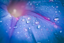Extreme Closeup Of Blue Morning Glory Flower With Morning Dew Drops. Shallow Depth Of Field