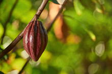 One Pretty Clean Red Cocoa Pod