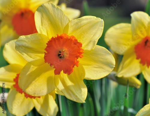 Deurstickers Narcis jonquille jaune et orange à forme d'étoile