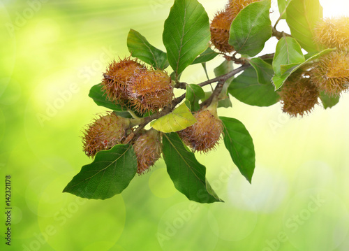Beech branch with beechnuts on green natural background. Canvas Print