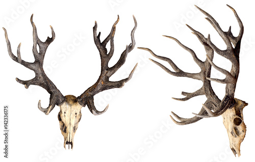 Fotografie, Obraz  Schomburgk's deer head skull isolated on white background, Extinct animals