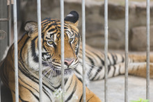 Bengal Tiger In Cage, Zoo