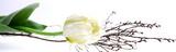 Fototapeta Tulipany - Tulpe mit Dekoration im Panorama | isoliert