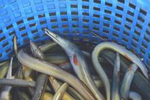Fresh Conger-pike Eel Fish (daggertooth Pike-conger, Indian Pike Conger, Congresox Talabonoides) On Blue Basket In Morning Market.
