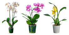 Set Of Orchid Flowers In Pot I...