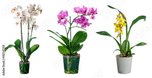 Valokuva Set of orchid flowers in pot isolated